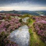 purple heather bamford