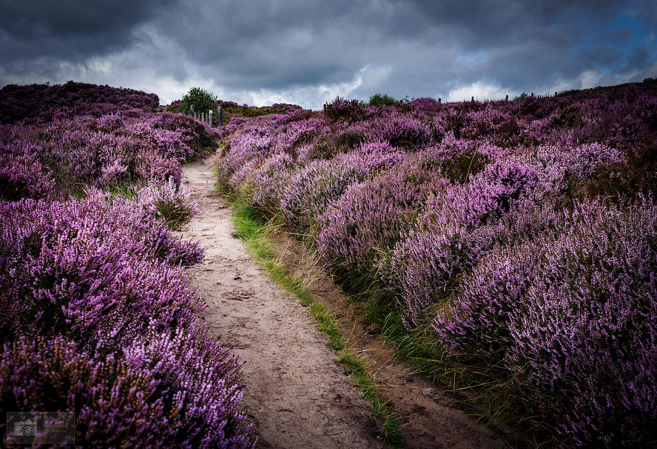 Purple Heather, Peak District