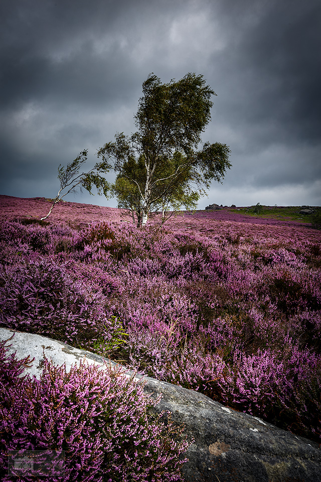 Everything has gone purple in the landscape