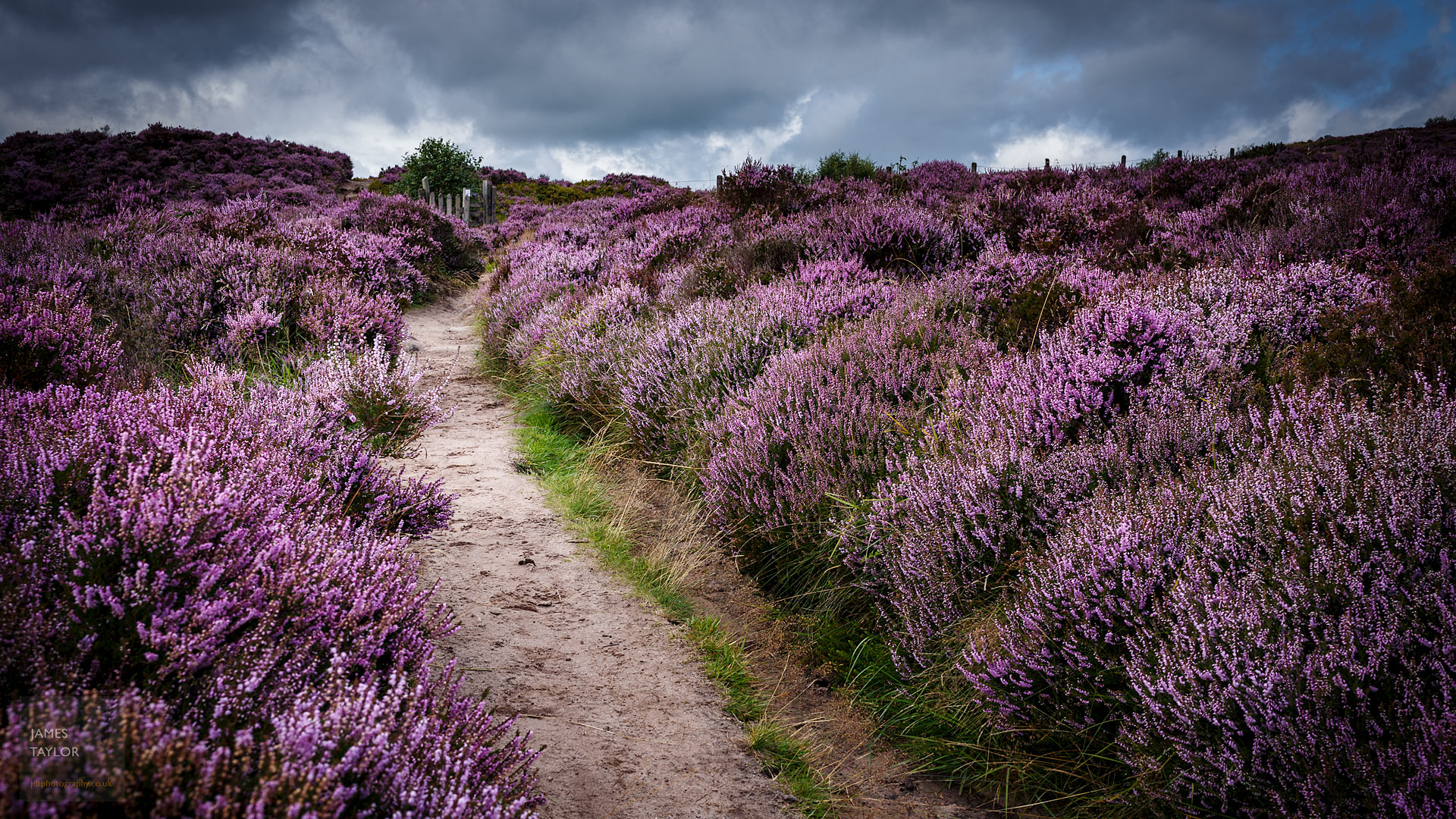 jdtphotography.co.uk knee deep purple heather