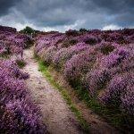 peak district in colour purple heather