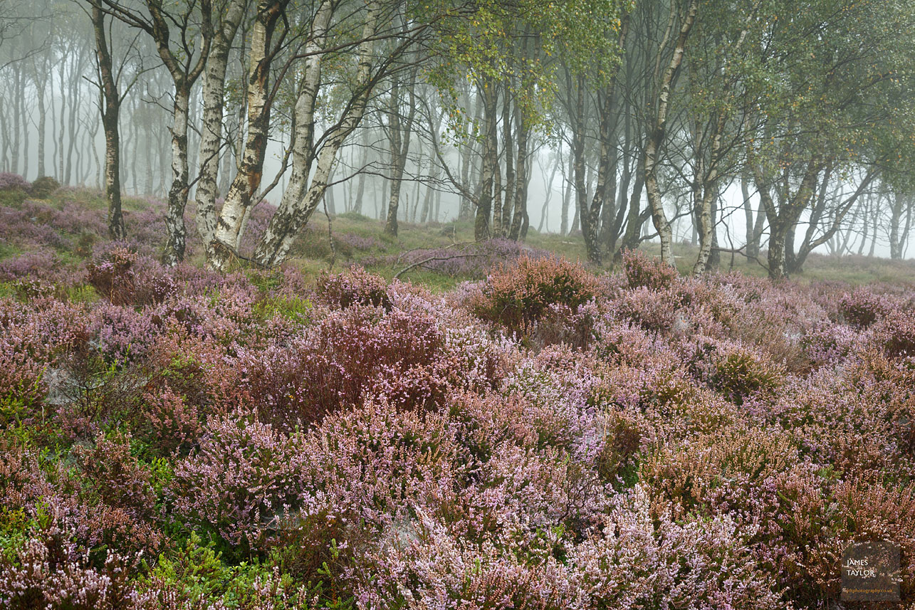 The fog is appearing and the purple heather disappears for another year