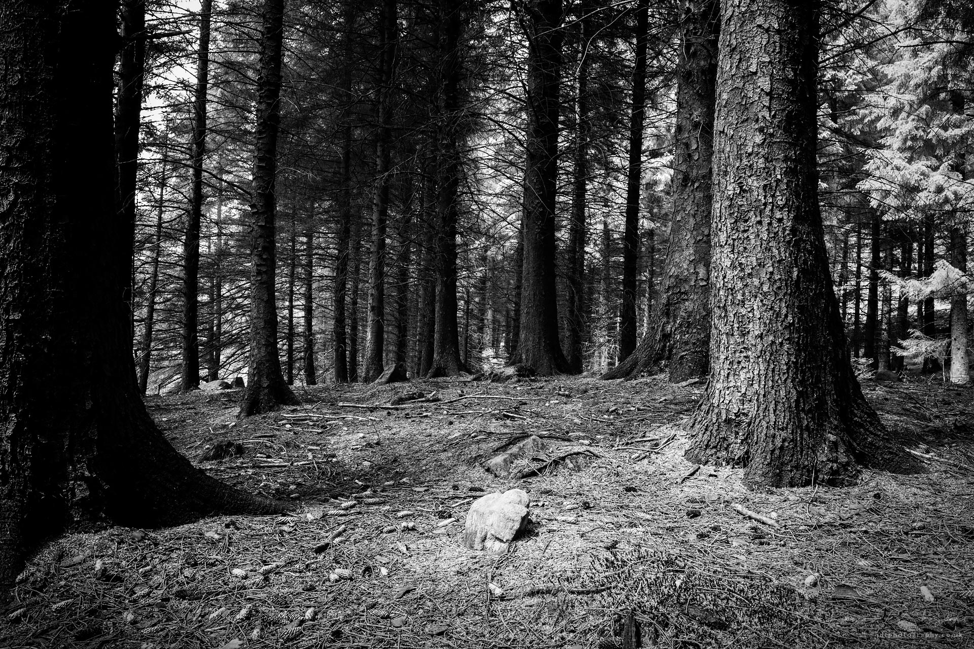 jdtphotography.co.uk-sunlight-pine-forest